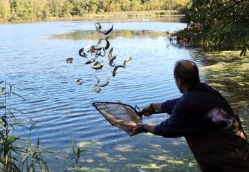 Todd Bobowick, owner of Rowledge Pond Aquaculture, released 168 sterile triploid grass carp into Kent Pond to manage vegetation growth on Friday, Sept. 29, 2017.
